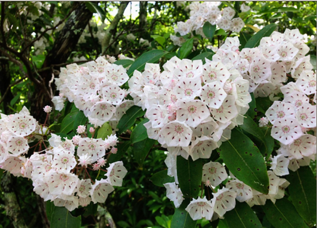 Mountain laurel erupt in balls of white geometrically shaped blooms with small pink centers. Neat, pointed oblong green leaves accent the white bouquets of blooms.